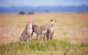 Обои тройка, гепарды, вычесляют, трава