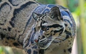 Картинка взгляд, природа, животное, хищник, окрас, дымчатый леопард
