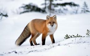 Обои зима, снег, Лиса, лисица