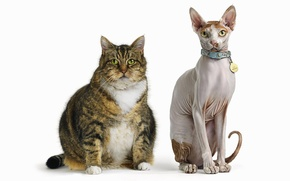 Картинка лапы, Кошки, хвост, медаль, уши, друзья, порода