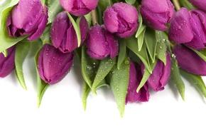 Картинка капли, фиолетовые, тюльпаны, мокрые