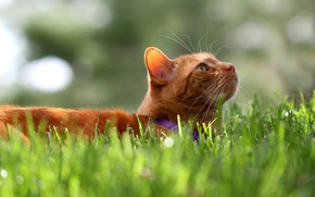Картинка трава, кот, кошак, рыжий, котяра