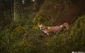 Картинка хищник, лиса, лес, природа