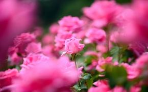 Картинка роза, лепестки, много, розовый цвет