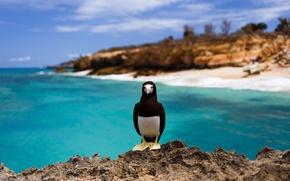 Обои море, скалы, остров, морская птица, бурая олуша