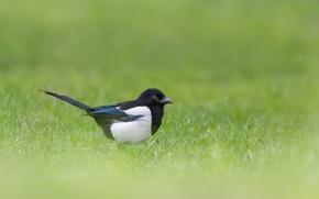 Картинка трава, птица, сорока, живая природа
