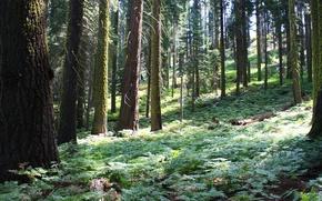 Картинка лес, деревья, природа, парк, фото, Калифорния, США, Sequoia