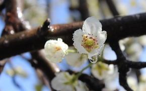 Картинка капли, тычинки, груша, белые цветы, голубое небо, кетка