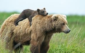 Картинка медведи, медвежонок, медведица, верхом
