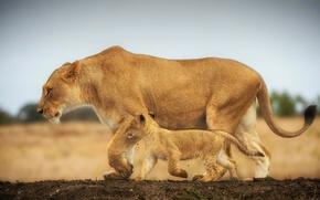 Обои прогулка, львица, львенок, большие кошки