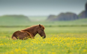Картинка поле, лето, цветы, природа, животное, лошадь