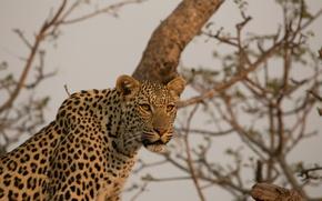 Картинка морда, хищник, леопард, Африка, дикая кошка
