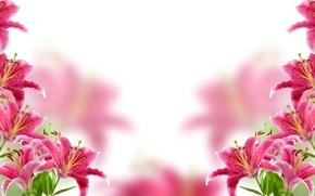 Обои цветы, фон, лилии, размытие
