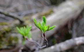 Картинка зелень, листья, жизнь, веточка, фон, росток, весна, зелёный, боке