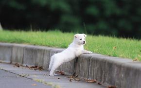 Картинка белый, трава, природа, лапы, пушистый, щенок, уши, мордашка