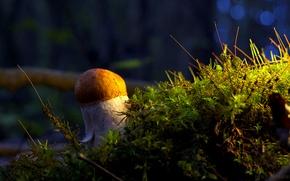 Картинка гриб, мох, Белый