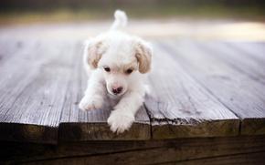 Обои мост, собака, щенок