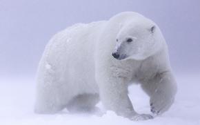 Картинка снег, белый медведь, Арктика