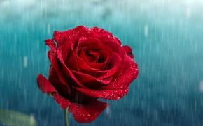 Картинка цветок, капли, дождь, роза, лепестки, бутон, красная