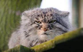 Картинка морда, дикая кошка, манул, палласов кот