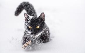 Обои кот, снег, лапа, когти, зима