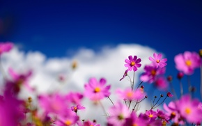Картинка небо, облака, макро, цветы, розовая, размытость, полевые, космея