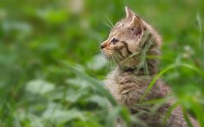 Обои трава, котёнок, дикая кошка