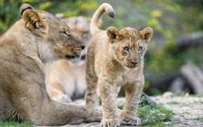 Обои кошка, котёнок, детёныш, ©Tambako The Jaguar, львица, львёнок