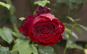 Картинка капли, Роза, red, rose, красная, drops