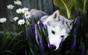 Обои цветы, собака, сад, нос, щенок, клумба, хаски, нюхает, сибирский хаски