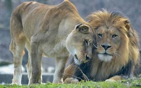 Картинка любовь, лев, львы, львица