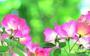 Картинка природа, роза, лепестки, стебель