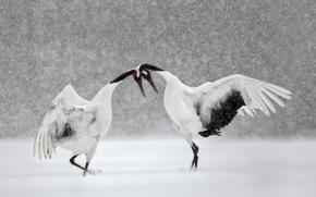 Картинка зима, снег, птица, танец, Япония, Хоккайдо, японский журавль
