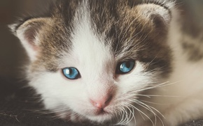 Картинка кошка, глаза, усы, котенок, портрет, маленький, мордочка, милый, голубоглазый