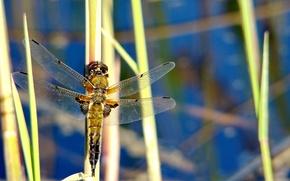 Картинка Природа, стрекоза, насекомое