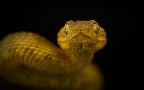 Картинка змея, ядовитая, Eye to eye