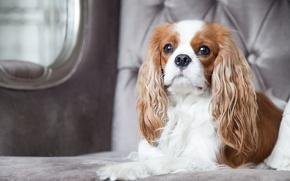 Картинка собака, шик, кавалер кинг чарльз спаниель