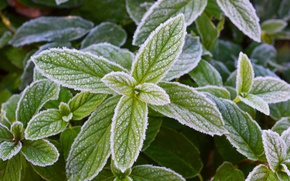 Картинка иней, зелень, свежесть, мороз, мята, прохлада, заморозки, морозная мята
