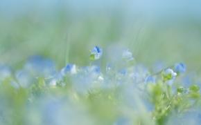 Картинка макро, цветы, природа, весна, размытость, голубые, нежно
