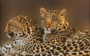 Картинка взгляд, морда, фотошоп, хищники, семья, леопард, пара, leopard