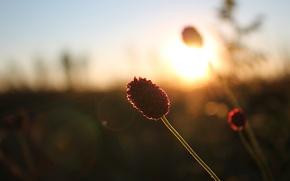 Картинка трава, закат, Степь, кровохлебка