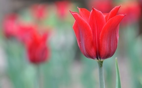 Обои тюльпан, лепестки, весна, макро