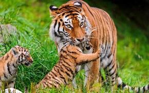 Картинка трава, кошки, тигры, тигренок, семейство, амурский, ©Tambako The Jaguar