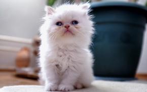 Картинка белый, дом, котенок, пушистый, горшок, цветочный, косоглазый