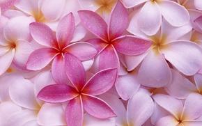 Обои цветы, фон, розовый