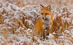 Обои зима, снег, животное, лиса
