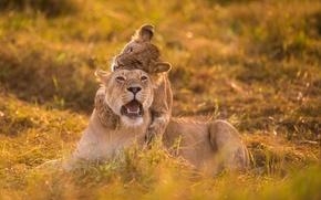 Картинка игра, львица, львёнок