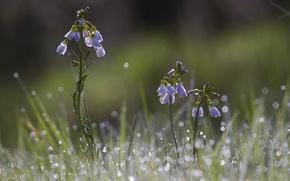 Картинка трава, капли, цветы, роса, блики, голубые