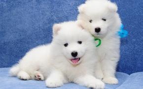 Картинка самоед, парочка, собаки, щенки