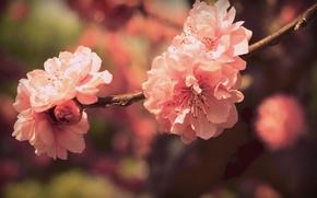 Обои цвета, цветы, ветка, весна, лепестки, сакура, розовые, цветение